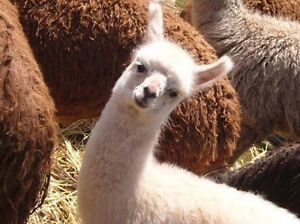 Baby llama for sale Airds Campbelltown Area Preview