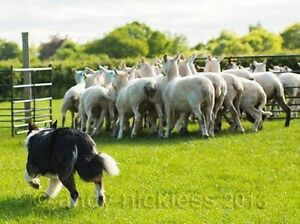 WANTED Sheep Dog Trainer Young Young Area Preview
