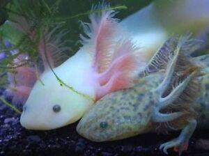 Axolotl adult or breeding pair Whyalla Whyalla Area Preview