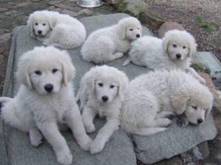 Wanted: Maremma pup wanted