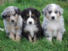 WANTED: Australian Shepherd Puppy Vic Region Ballarat East Ballarat City Preview