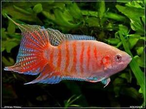 TROPICAL, COLDWATER, GOLD FISH - NEW STOCK Pooraka Salisbury Area Preview