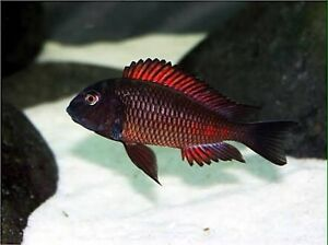 Wtb tropheus moliros Pearsall Wanneroo Area Preview