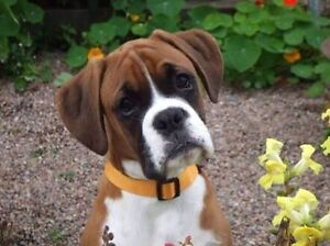 WANT TO BUY - BOXER PUPPY - MALE Mernda Whittlesea Area Preview