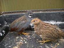 king quails Anketell Kwinana Area Preview