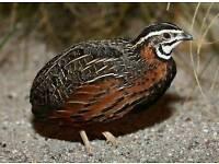 6 harlequin quail eggs