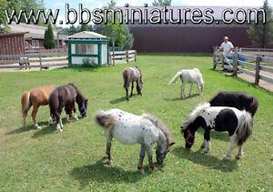 Chevaux cheval miniature horse affectueux beaucoup de choix