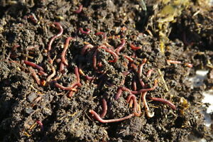 Red Compost Worms - FREE
