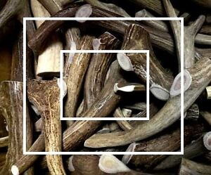 Fresh antler dog chews (Best price, best quality) Kitchener / Waterloo Kitchener Area image 2