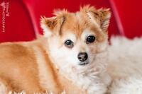 "Senior Male Dog - Pomeranian: ""KODA"""