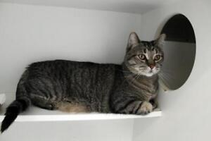 "Adult Male Cat - Domestic Short Hair-Tabby: ""Munchkin"""