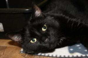 """Adult Male Cat - Domestic Short Hair: """"Kitty 16 (PN 290)"""""""