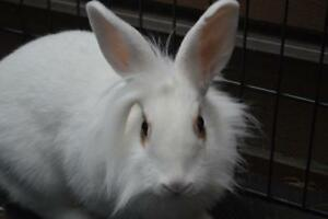 "Adult Female Rabbit - Lionhead-Dwarf: ""Maybelline"""
