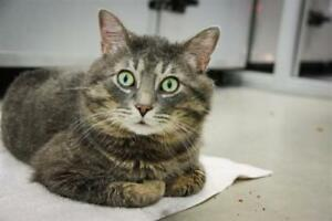 "Adult Male Cat - Domestic Short Hair: ""Delaney"""