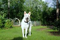 "Adult Male Dog - Husky: ""Blitzen"""