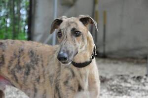 "Adult Male Dog - Greyhound: ""Hey Asher"""
