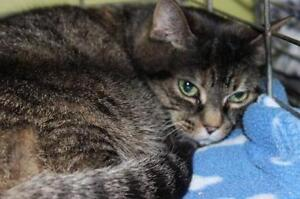 """Young Female Cat - Domestic Long Hair: """"Libby 16 (PN 258)"""""""
