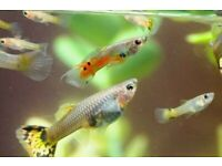 Live Tropical Fry/Young adult Guppies