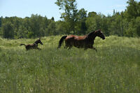 Outdoor horses boarding - 25minutes from Ottawa/Gatineau