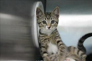 """Baby Male Cat - Domestic Short Hair: """"Toby"""""""