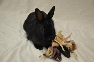 "Young Male Rabbit - Dwarf: ""Peter"""