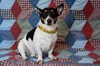 "Adult Male Dog - Jack Russell Terrier: ""Jackson"""