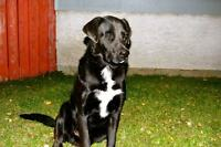 "Adult Male Dog - Labrador Retriever-Mastiff: ""Jamal"""