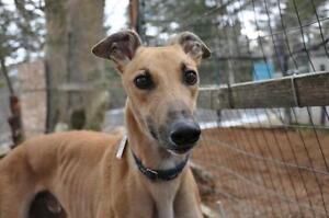 "Adult Male Dog - Greyhound: ""BI Missile"""