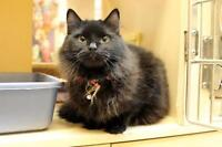 "Adult Female Cat - Domestic Long Hair-black: ""Catniss"""