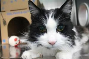 "Senior Male Cat - Domestic Long Hair: ""Faddon"""