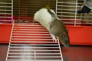 "Young Male Small & Furry - Rat: ""Ceasar"""
