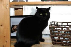 """Young Female Cat - Domestic Long Hair (Black): """"Fuzzy"""""""