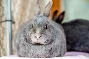 "Adult Female Rabbit - American: ""Remo"""
