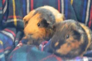 """Adult Male Small & Furry - Guinea Pig-Peruvian: """"Tank and Hank"""""""