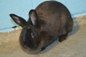 "Adult Female Rabbit - Dwarf: ""Sandy"""
