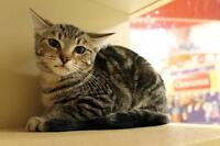 "Young Female Cat - Tabby - Brown: ""Talia Auld (Tee Four)"""