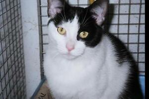 "Adult Female Cat - Domestic Short Hair: ""Peyton"""