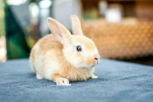 "Young Male Rabbit - American: ""Honey"""