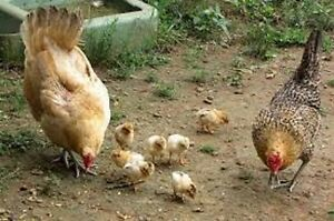 CHICKEN -Mother Hen and BABIES