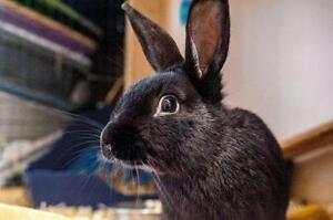 """Young Male Rabbit - American: """"Mars"""""""