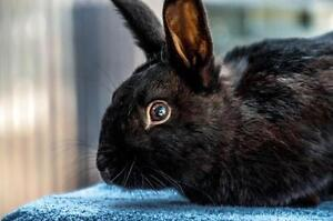 """Young Male Rabbit - American: """"Neptune"""""""