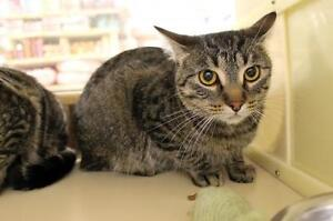 """Young Male Cat - Tabby - Brown: """"Thoren"""""""