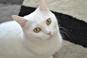 "Adult Male Cat - Domestic Short Hair: ""Q Tip"""