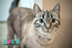 "Adult Female Cat - Siamese: ""Felicity Hunt"" Strathcona County Edmonton Area image 1"
