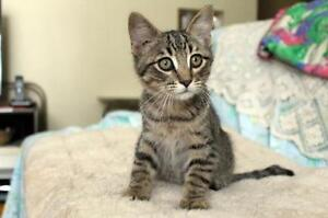 "Baby Male Cat - Tabby - Brown: ""Teddy"""