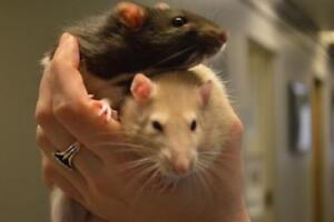 """Young Male Small & Furry - Rat: """"Tic & Tac"""""""