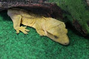 "Young Female Scales, Fins & Other - Gecko: ""Tango"""