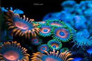 Looking for coral frags/ anemones/ live stock