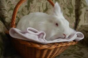 "Adult Female Rabbit - Lionhead: ""Winnie"" Cambridge Kitchener Area image 1"