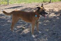 Male Dog - German Shepherd Dog-American Staffordshire Terrier